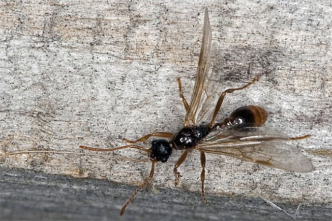 luxprivat fliegende ameisen aus haus und garten vertreiben. Black Bedroom Furniture Sets. Home Design Ideas
