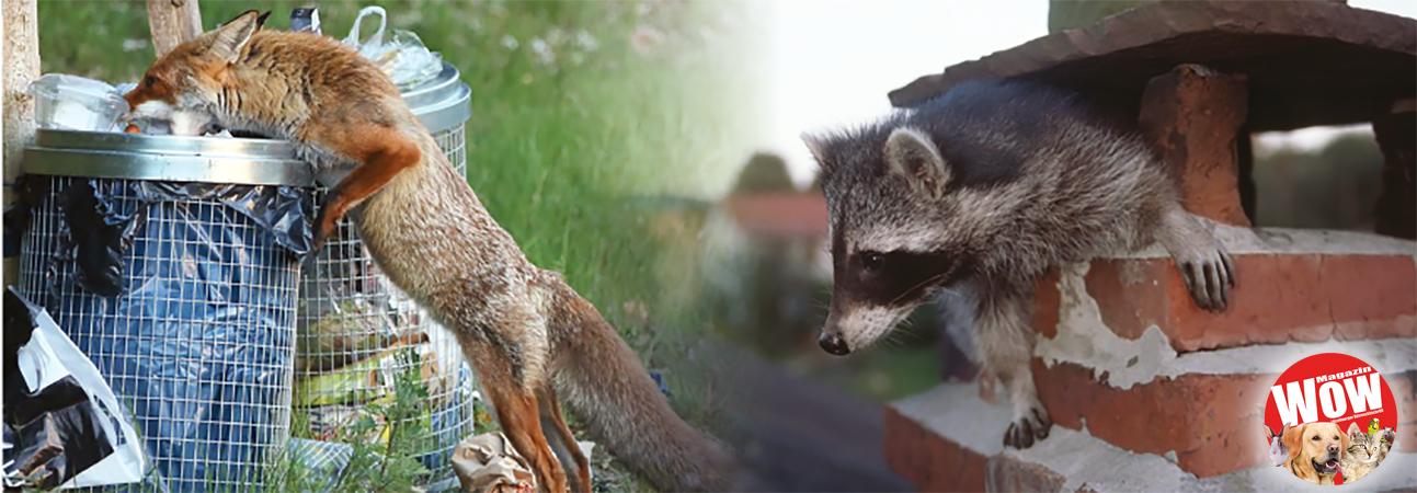 2e528590fc9d32 Da läuft am hellichten Tag ein Fuchs durch den Garten. Er hat keine Angst  vor dem Menschen noch vor Haustieren. Mitten in der Nacht wirft ein Waschbär  ...